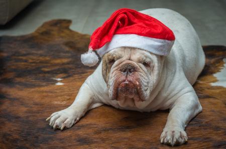 Foto de Cute English Bulldog in a christmas hat - Imagen libre de derechos