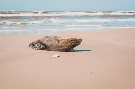 Foto de Sea Lion lying on the sand of the beach with fish next to it. Mostardas, Rio Grande do Sul, Brazil. - Imagen libre de derechos