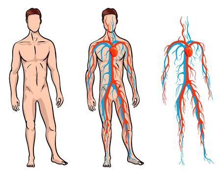 Illustration pour Male circulatory system. Vector illustration of blood circulation in human body. Human arterial and venous circulatory system - image libre de droit