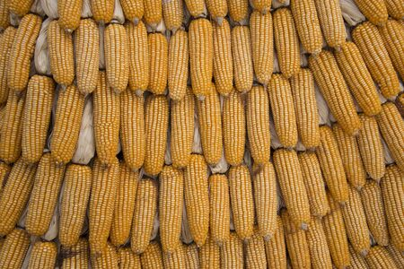 Background texture grain corn fall