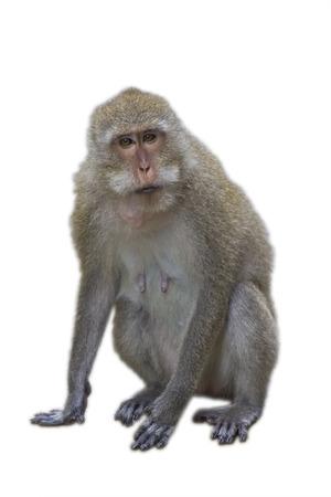 The monkey isolated against a white background