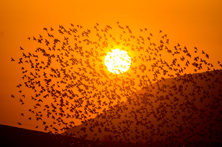 Photo pour Bird flock covering the sunset with mountains - image libre de droit