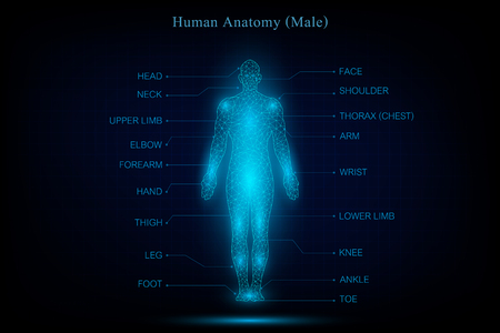 Illustration pour human body anatomy glowing blue in the dark background as medical, science and technology concept. vector illustration. - image libre de droit