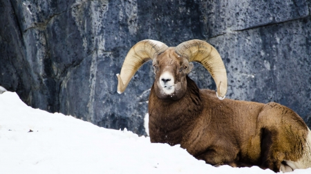 Portait of big horn sheep