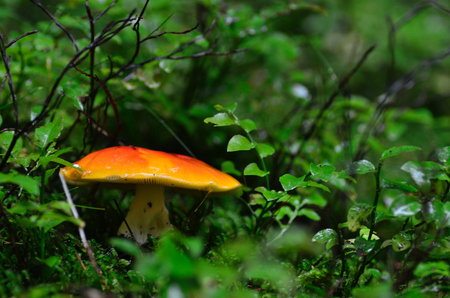orange mushroom in the green forest and summer
