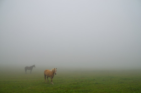 horses standing in fog in the meadow