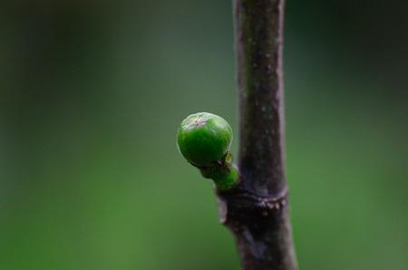young green fig fruit