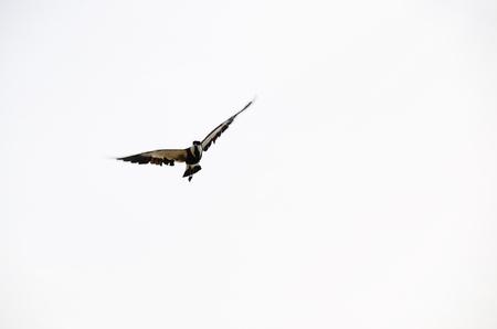 large flying bird and white background
