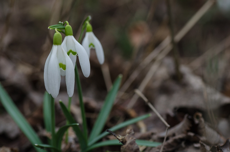 three fresh snowdrops in spring