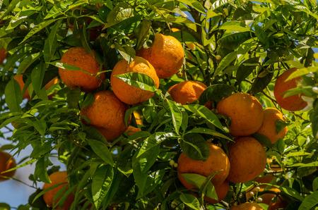 juicy fresh oranges in greece