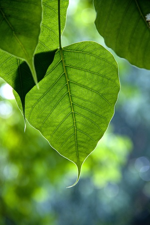 Bo leaf have v-shape or heart shape