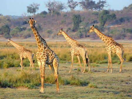 Giraffes in Chobe National Park, Botswana