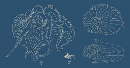 Ilustración de line illustration of Argonaut. Kind of mollusk with tentacles: big female and small male. Ancient octopus with shell. - Imagen libre de derechos