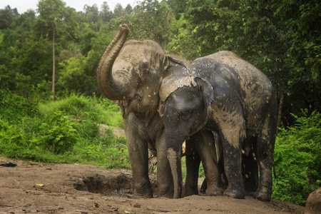 Photo pour Elephants playing in the mud pit with their family. - image libre de droit