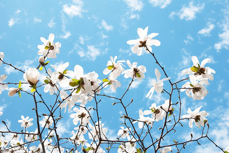 Photo for Wonderful blooming magnolia flower on a blue sky background - Royalty Free Image