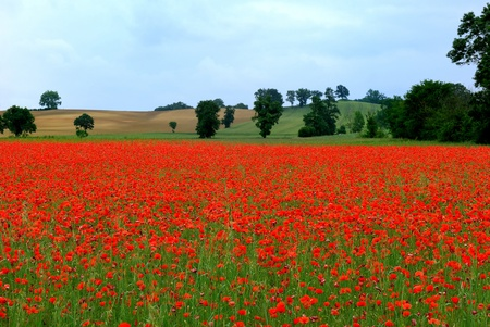 a field of poppies in France