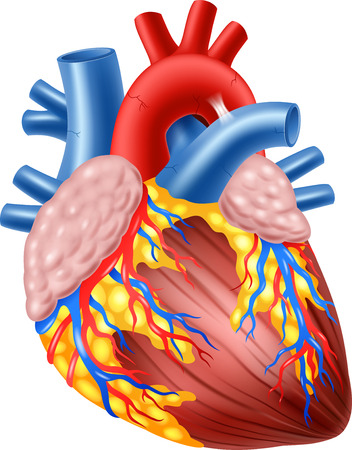 Illustration pour Vector illustration of Human Hearth Anatomy - image libre de droit