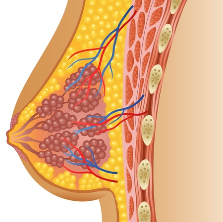 Ilustración de Vector illustration of female breast anatomy - Imagen libre de derechos