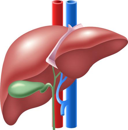Ilustración de Vector illustration of Human Liver and Gallbladder - Imagen libre de derechos
