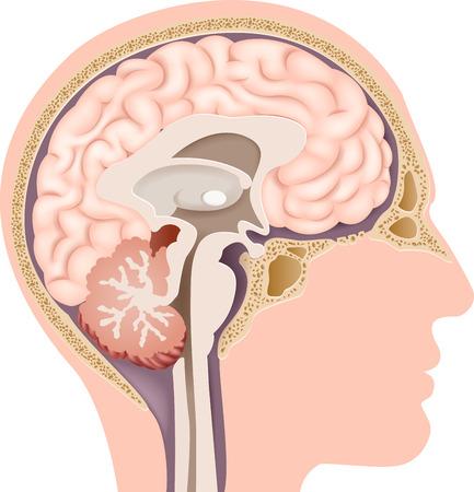 Illustration pour Vector illustration of Human Internal Brain Anatomy - image libre de droit