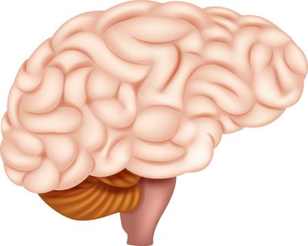 Illustration pour Vector illustration of Human Brain Anatomy - image libre de droit