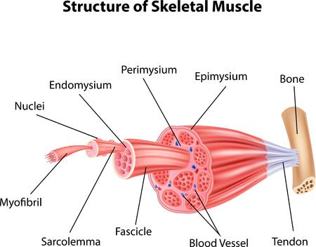 Illustration pour Vector illustration of Structure Skeletal Muscle Anatomy - image libre de droit