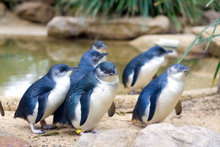 Little Penguins in Featherdale Wildlife Park in Australia