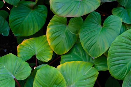 Photo pour The background image of the leaves shaped like a heart is green and refreshing. - image libre de droit
