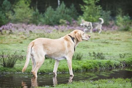 Old Ivory Labrador
