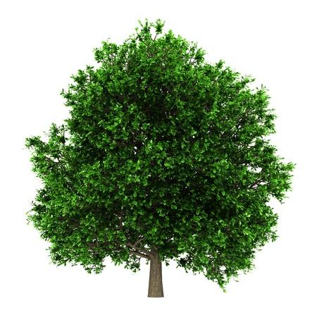 pedunculate oak tree isolated on white background