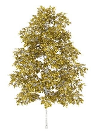 european white birch tree isolated on white background