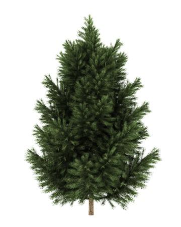 european black pine tree isolated on white background