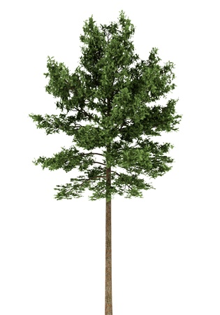 scots pine tree isolated on white background