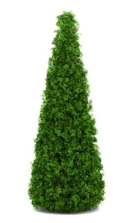 eastern arborvitae bush isolated on white background