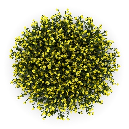 Photo for top view of broom flowers isolated on white background - Royalty Free Image
