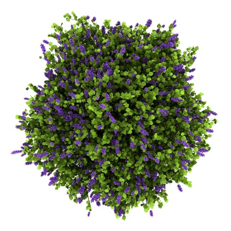 top view of lilac flowers bush isolated on white background