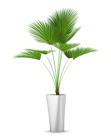 palm tree in pot isolated on white background