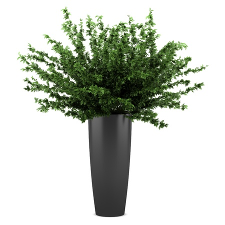 decorative plant in black pot isolated on white background