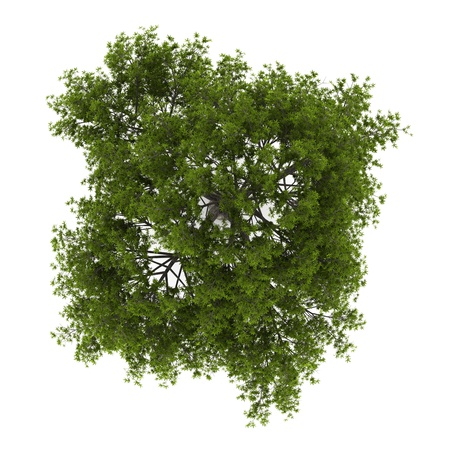 top view of crack willow tree isolated on white background