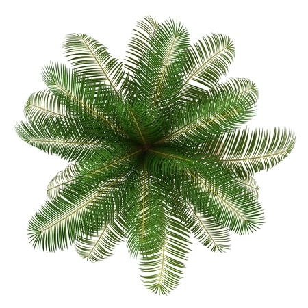 top view of coconut palm tree isolated on white background