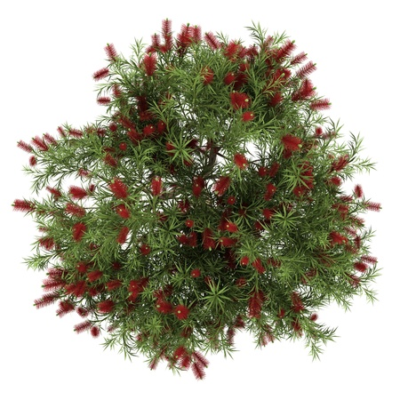 top view of bottlebrush tree isolated on white background