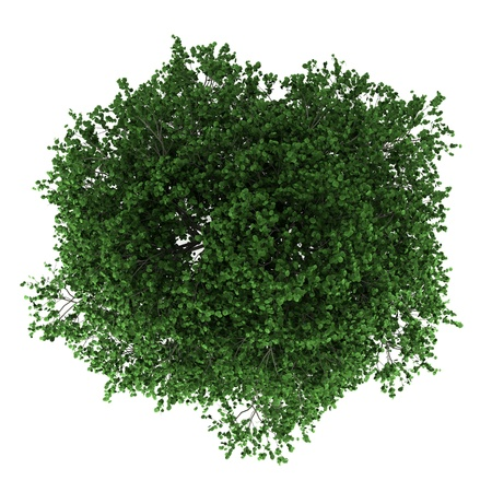 Photo for top view of hornbeam tree isolated on white background - Royalty Free Image