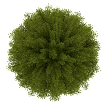 top view of norway spruce tree isolated on white background