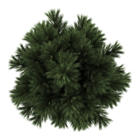 top view of european black pine tree isolated on white background
