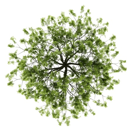 top view of willow tree isolated on white background