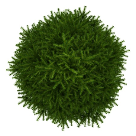 top view of momi fir tree isolated on white background