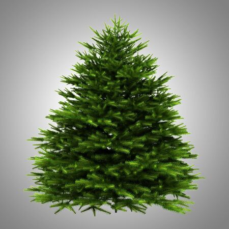 momi fir tree isolated on gray background