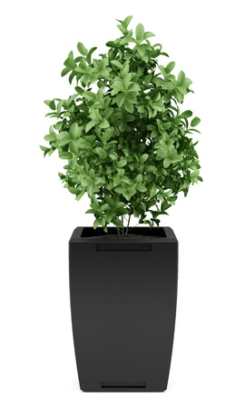 Photo for plant in black pot isolated on white background - Royalty Free Image