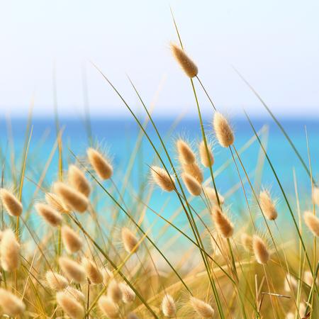 Bunny Tails Grass Lagurus Ovatus growing over dunes