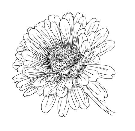 Illustration pour Vector illustration, isolated zinnia flower in black and white colors, outline original hand painted drawing - image libre de droit